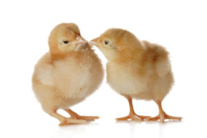 Two fluffy little yellow baby chicks