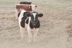 Crazy Cattle