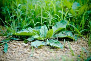 Plantain, a healing herb